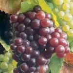 Le numerose virtù dell'uva